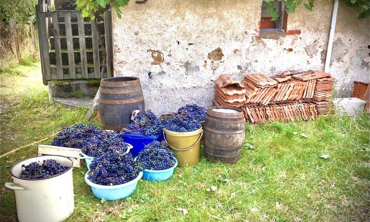 récolte 2017, 100kg de raisins...