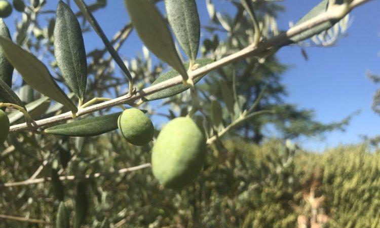 récolte 2019 olive